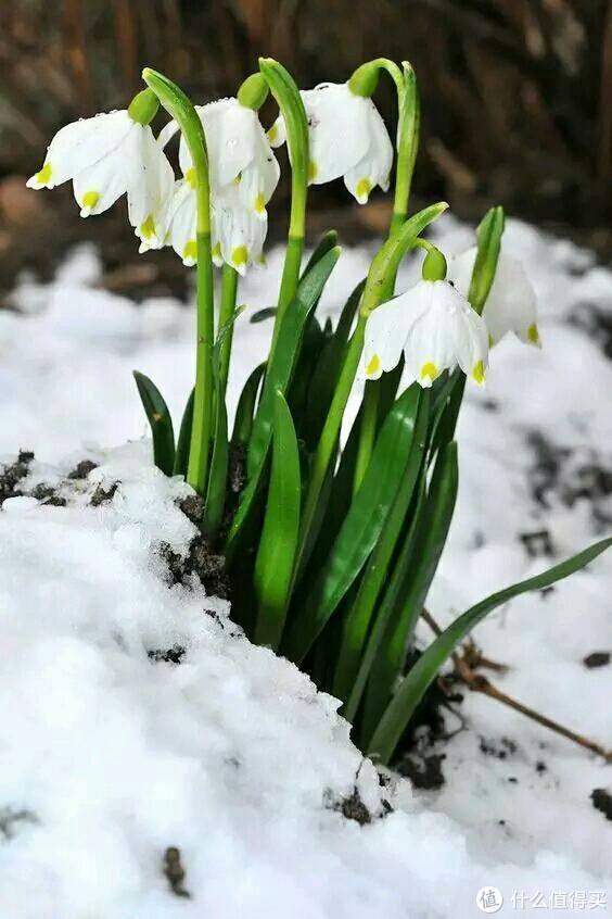 雪片莲,不是雪滴花哦,虽然比较像