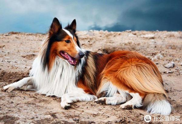 除了金毛二哈泰迪,还有什么狗狗是陪伴我们的好选择——最爱牧羊犬