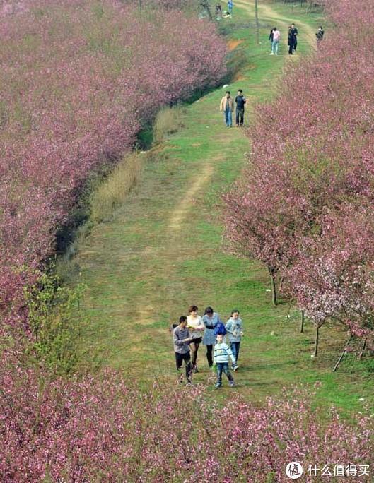 3月赏樱不能忘记贵阳,这里有百亩樱花园等着你,晚樱要到4月底