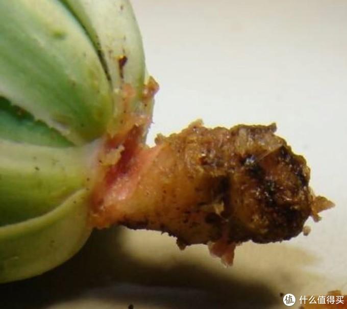 毛茸君de十二卷种植日记 — 烂根原因、急救,日常病虫害,以及修根换土