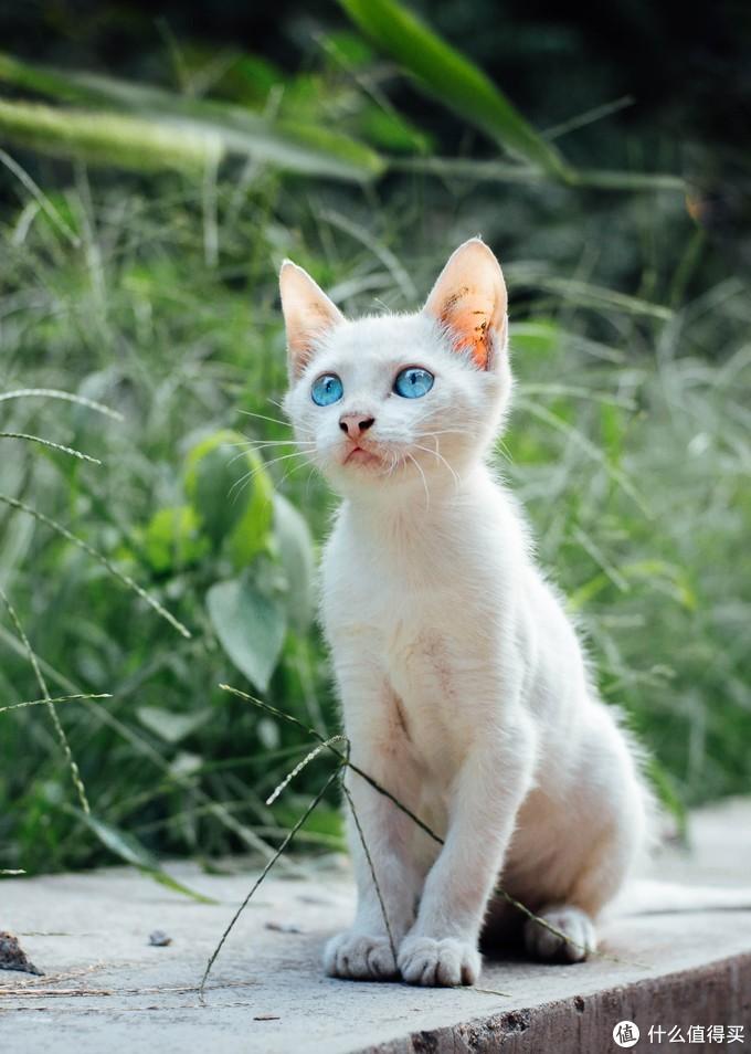 学校遇到一只漂亮蓝色眼睛的小猫