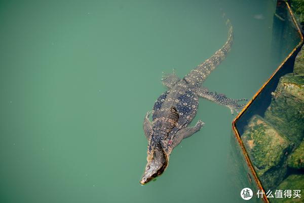 这个不是鳄鱼啊!师傅带我看的大蜥蜴,一般都蹲在桥下面躲太阳!
