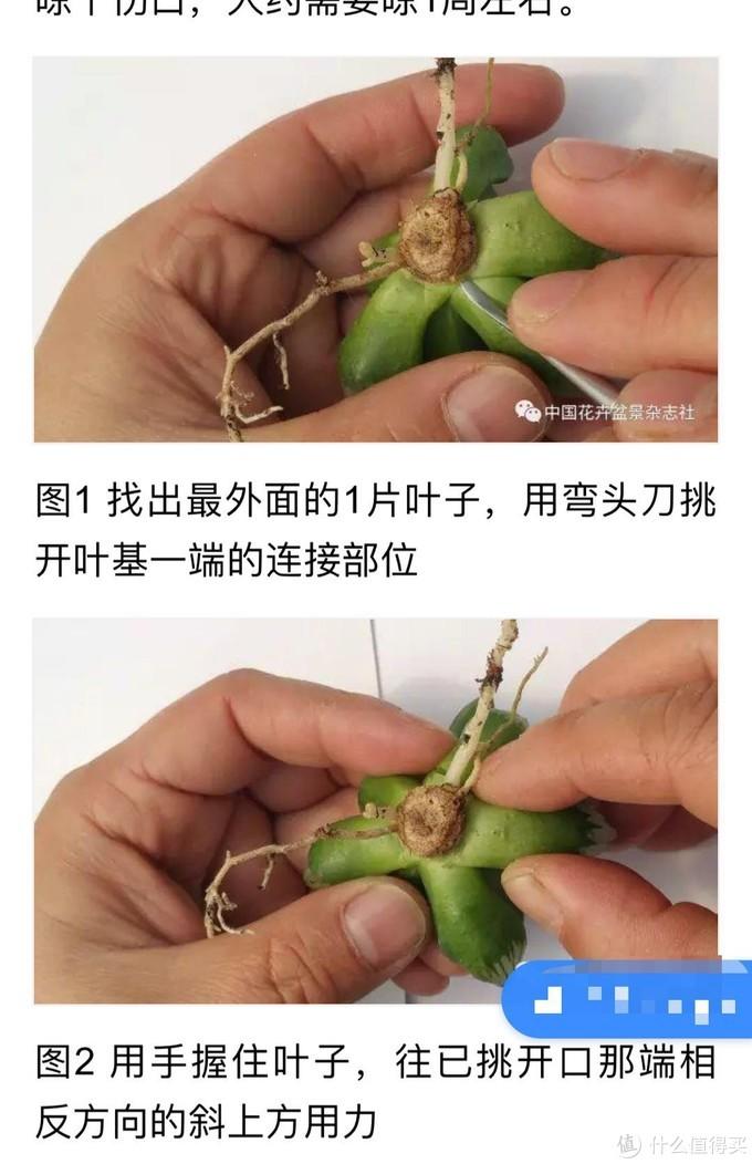 来源百度,大家可参考根茎的切割位置,侵权删除