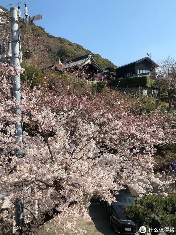 还是樱花树