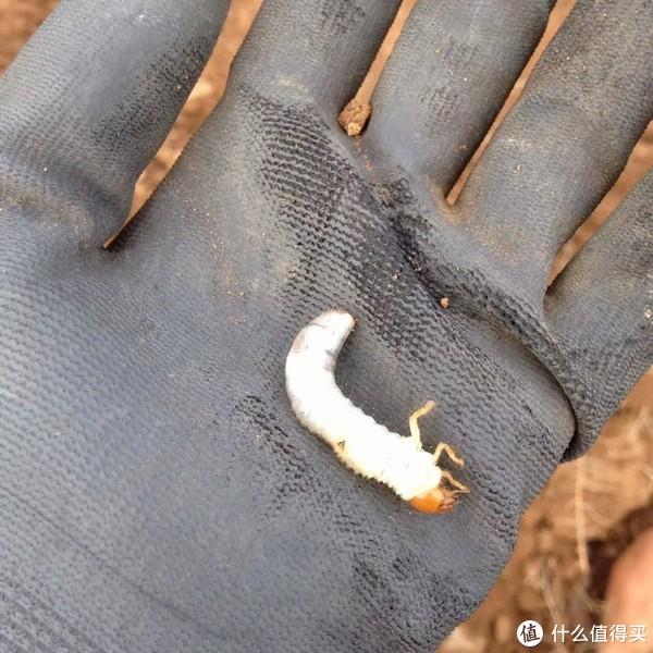 白色兹虫,抠地瓜吃,不过没有毒