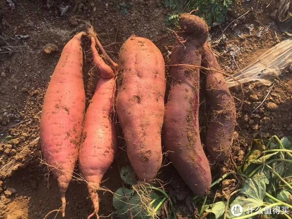烟台红 老品种 紫薯