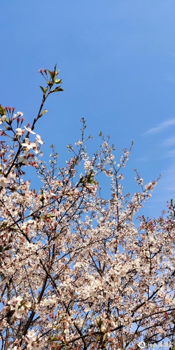 一片樱花林