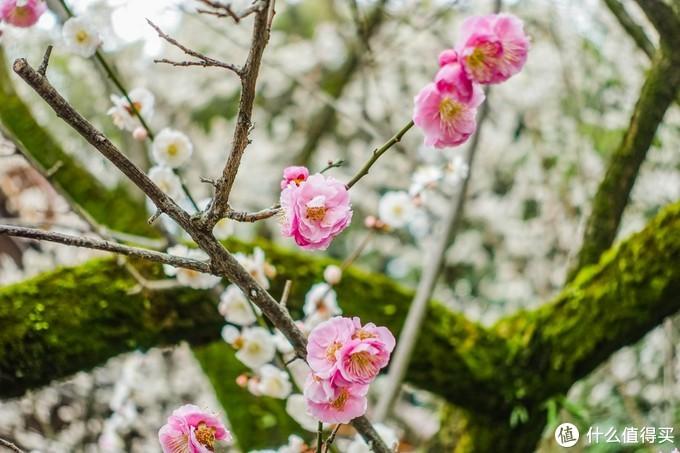 没有樱花的季节看看梅花也不错
