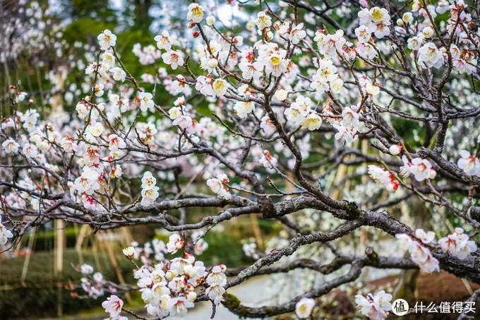 园内很多梅花正在盛开