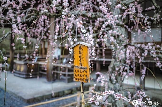 一棵垂下来的梅花树,粉白相间,好特别。