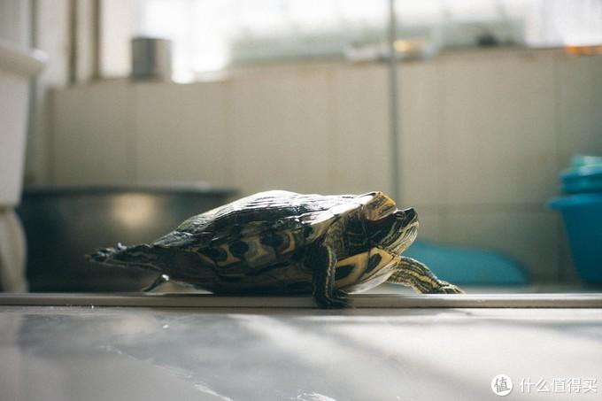 大年初二自己爬出来伸着腿晒太阳的龟龟