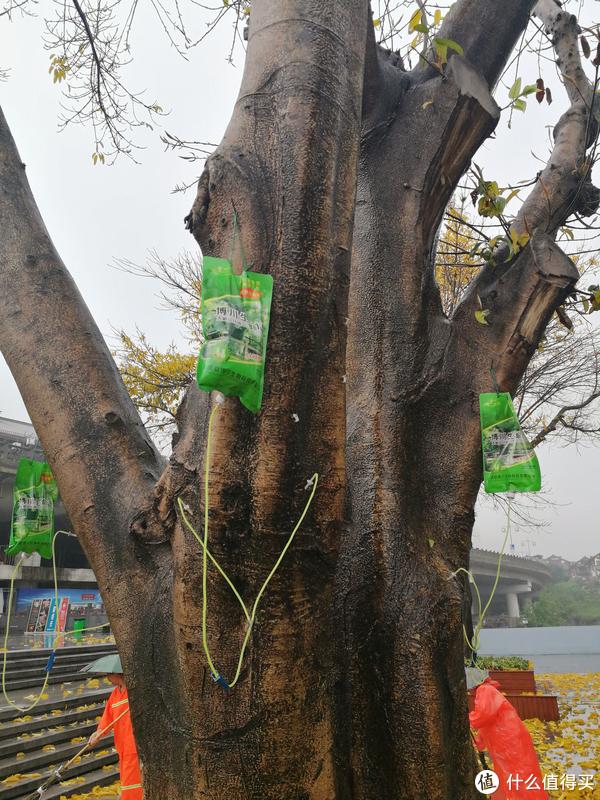 这棵树吊水了~~