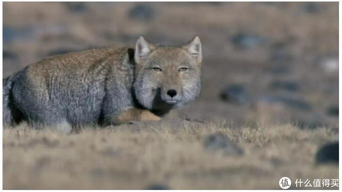 我个人非常喜欢的藏狐