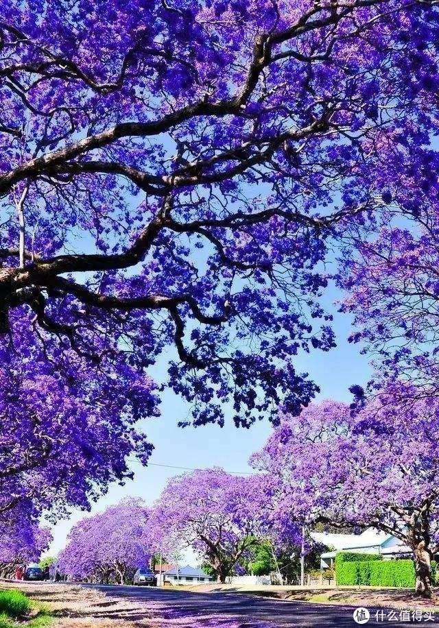 蓝楹,超漂亮有木有,侵删