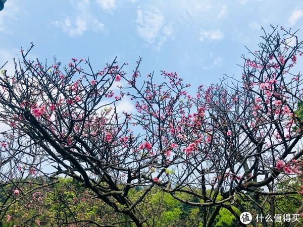 蓝天,白云,绿叶,粉樱花