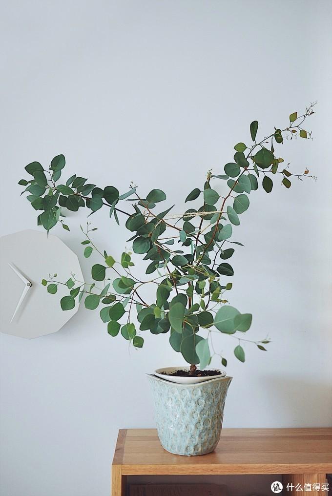 尤加利(多花桉)盆栽,造型非常自然轻灵。