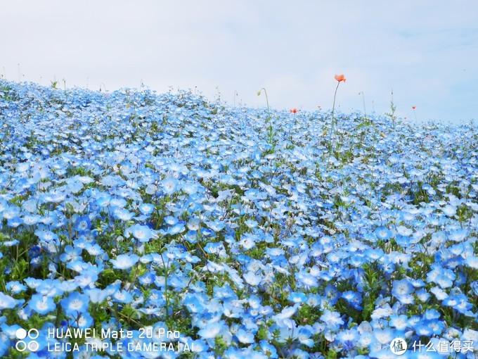 水户黄门,蓝色花海,大洗战车道