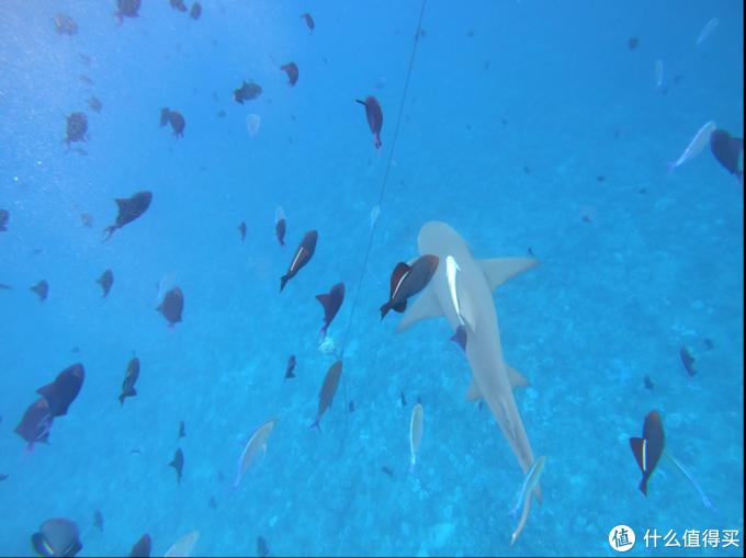 视频截图,这货大概3M多,另外一种鲨鱼