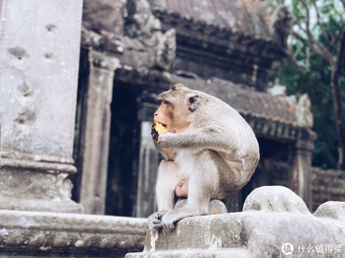 小吴哥里的猴子