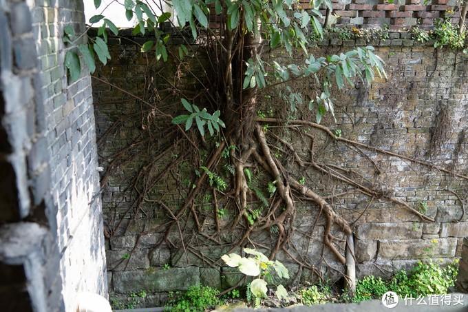 长在墙上的树