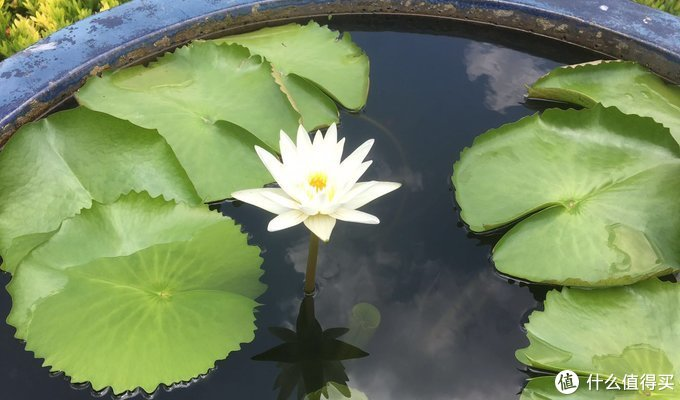 大水缸里的莲花
