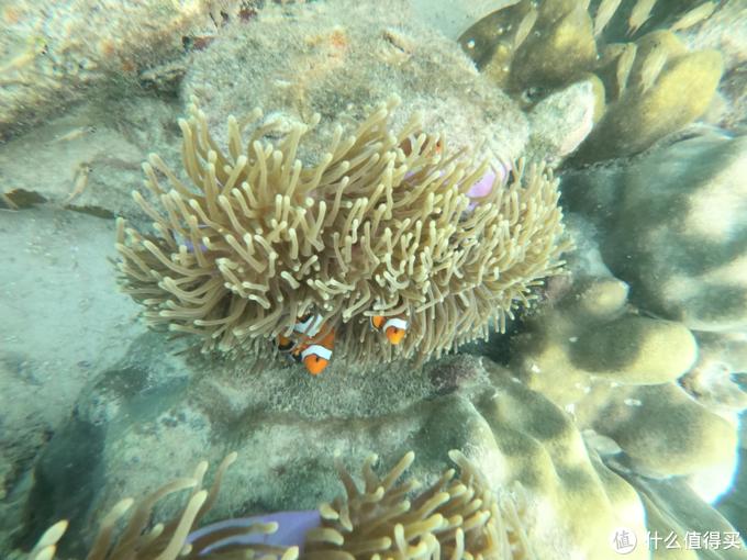 珊瑚丛中的小尼莫。