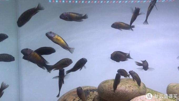 三湖慈鲷太阳斑