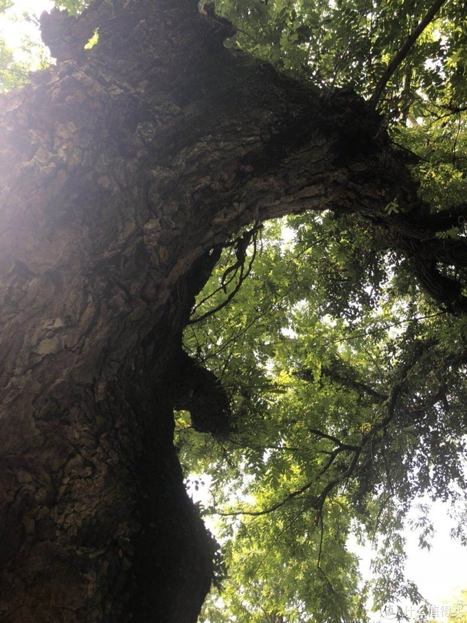 好大一棵树