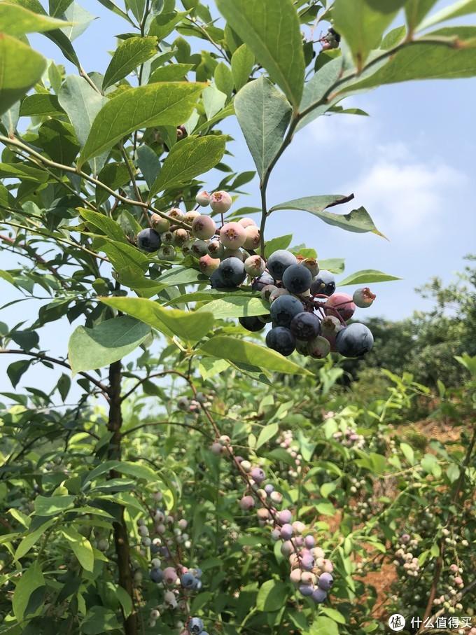 自制酸酸甜甜、营养美味的大果粒蓝莓果酱,各位不了解一下?