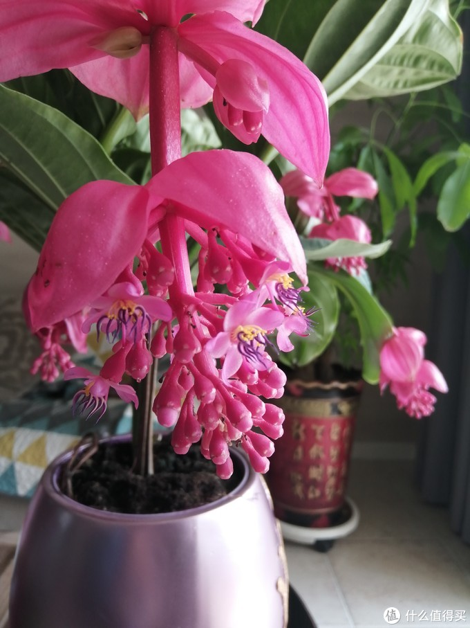开箱晒物:高端大气的宝莲灯花卉,养花就要从高端花卉开始