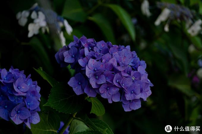 整理照片发现这次真的拍了好多绣球花。