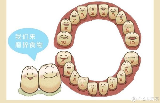 宝宝出牙顺序图,来自<宝宝辅食添加每周计划>