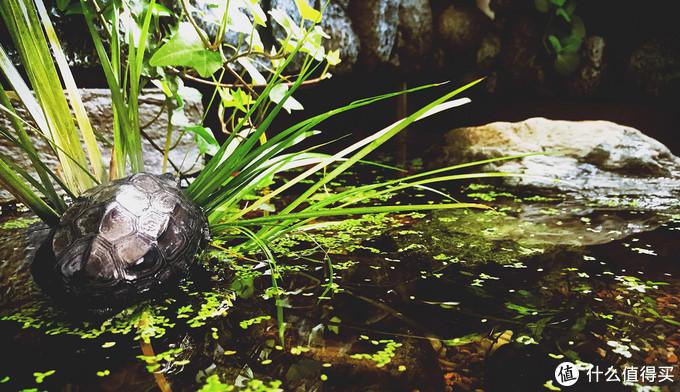 """龟池的一角,里面入住了两只已经墨化的草龟。草龟是我国的原生龟种之一,在南方地区非常常见,又被称为""""国龟"""""""