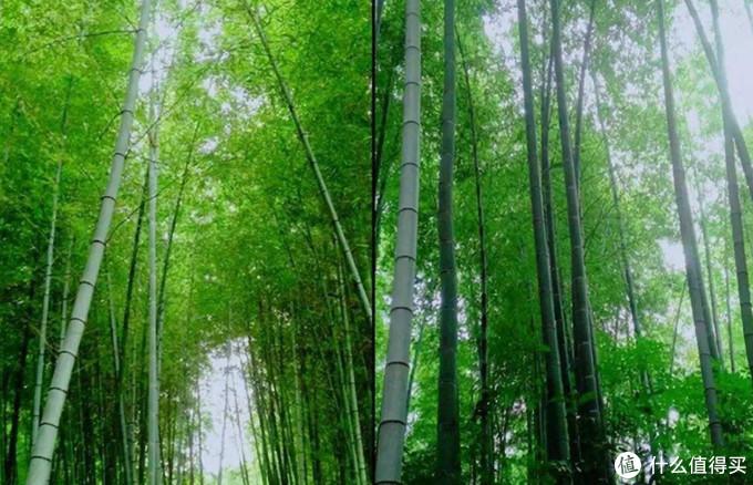 这里也有不输岚山嵯峨野的竹林,竹子的品种很多,印象中一到春天就会有极为新鲜的笋子吃