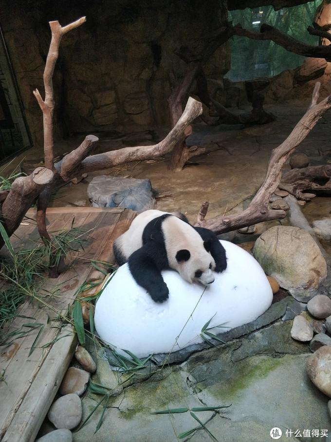 熊猫餐厅里拍的,趴在冰上面消暑,太可爱
