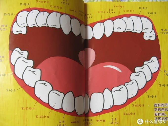 牙齿学名图