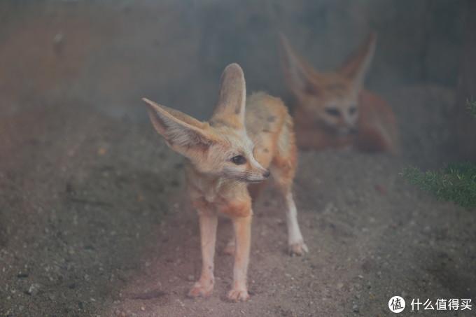 耳廓狐非常可爱但味道超重