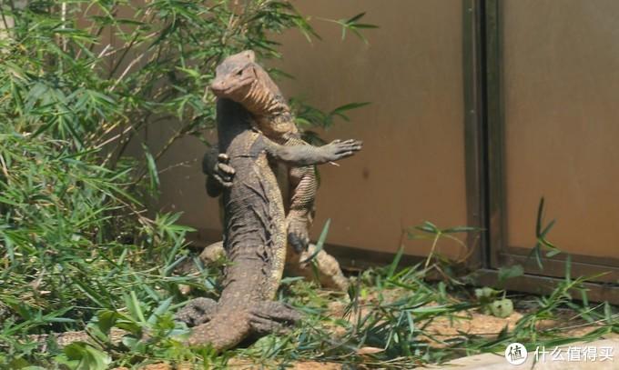 在跳舞(打架)的巨蜥