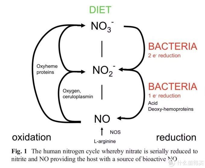 口腔细菌利用食物生成NO给人体的途径