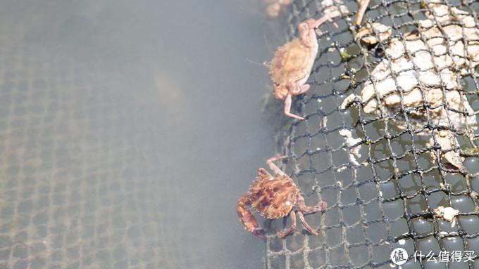 蟹不大,但膏足,一盆足足有二三十只