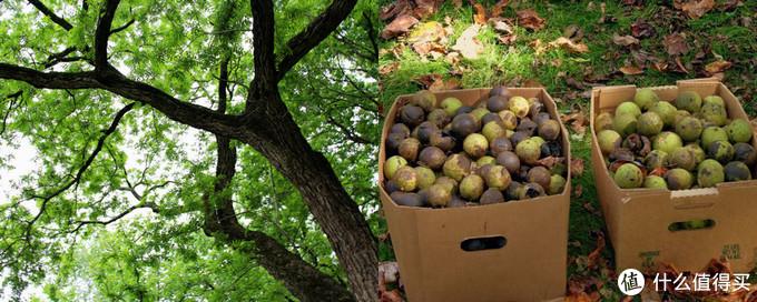 美国的黑胡桃树与成熟的果实