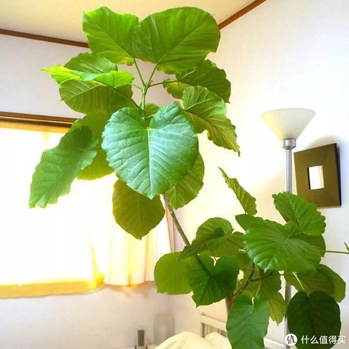 完败网红琴叶榕植物的植物就是它
