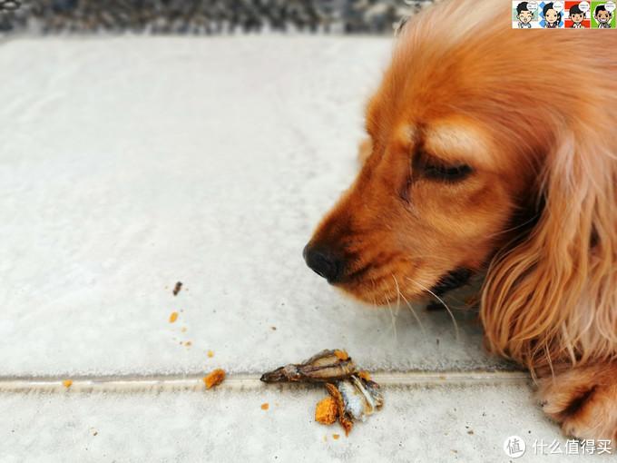 大肚婆娜娜的零食——佩妮6+1宠物冻干
