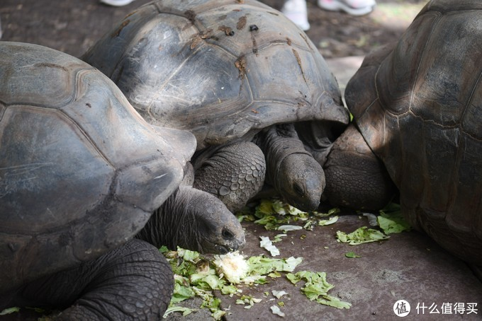 象龟也是这个公园的亮点,是当地的保护动物,体型巨大,寿命也可以很长。