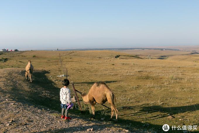 小朋友看着自由的骆驼舍不得走