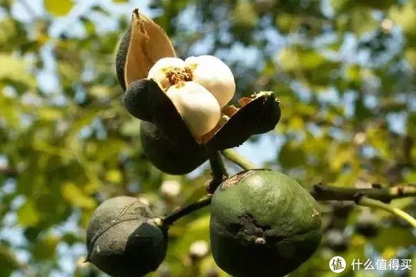 用来榨油的桐树种子