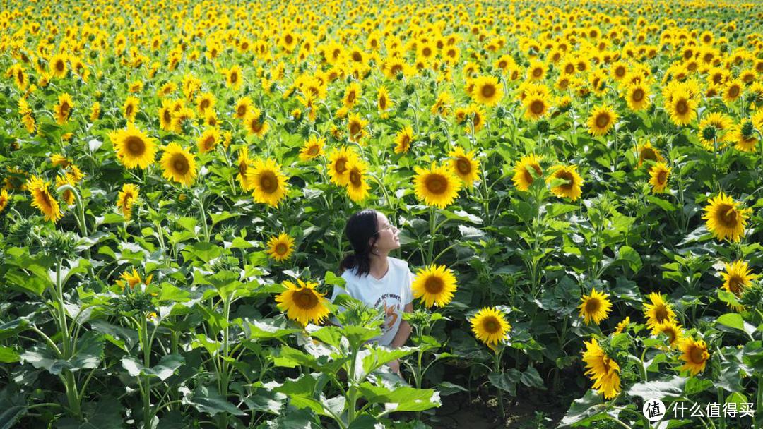 向日葵花群