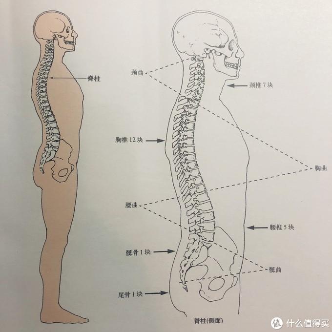 脊柱解剖图