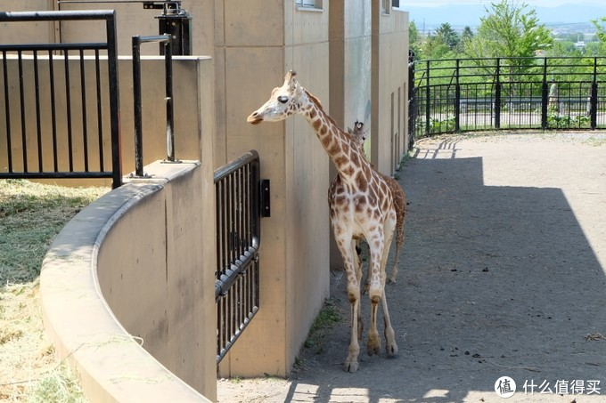 在旭山动物园散步才是正经事
