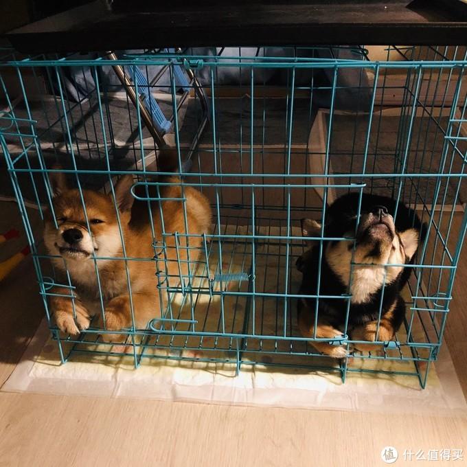 两狗见面的第一夜,挤在安妮的小笼子里